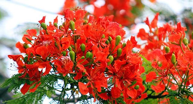 nhung bai tho ngan hay ve hoa phuong danh tang tuoi hoc tro - Những bài thơ ngắn hay về hoa phượng dành tặng tuổi học trò