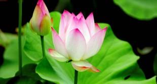 nhung bai tho ngan hay ve hoa sen y nghia nhat 310x165 - Những bài thơ ngắn hay về hoa sen ý nghĩa nhất