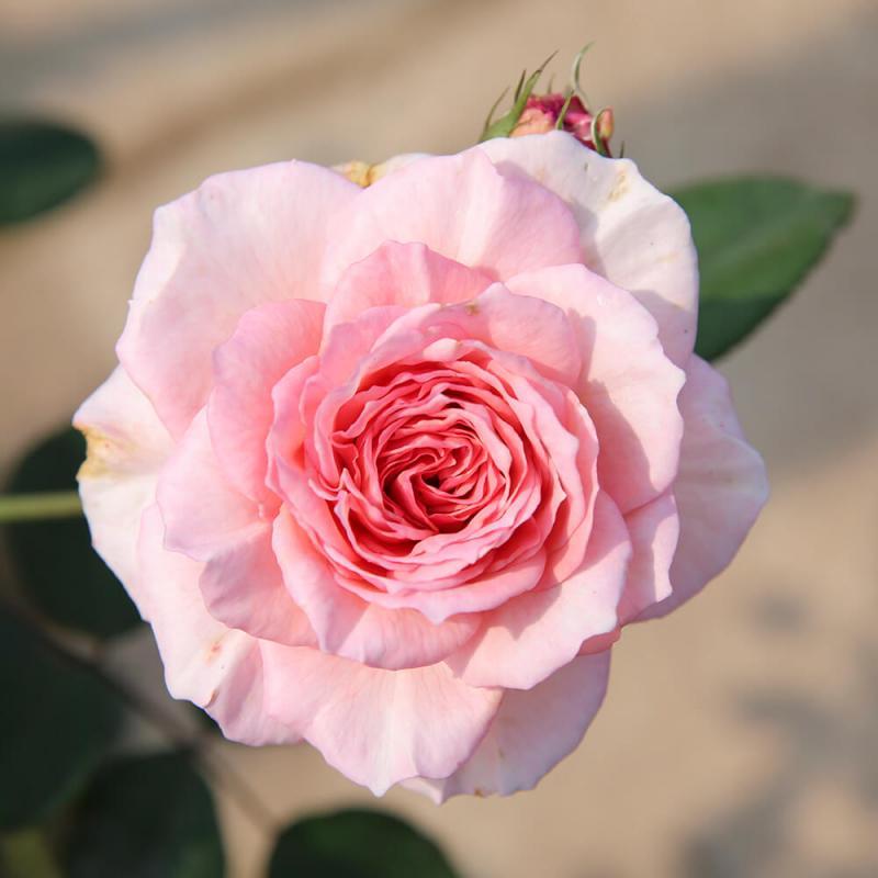 top 12 bai tho hay ve hoa hong 15 - Top 12 Bài thơ hay về hoa hồng