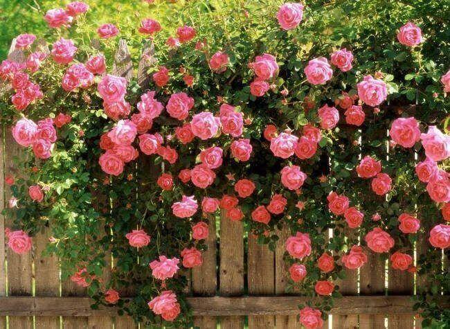 top 12 bai tho hay ve hoa hong 17 - Top 12 Bài thơ hay về hoa hồng
