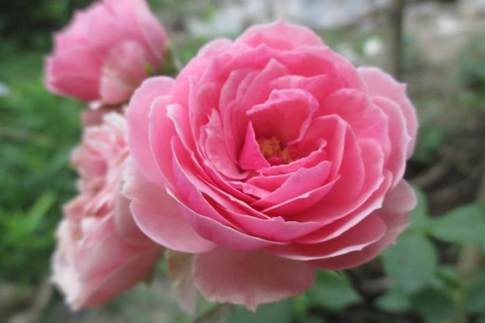 top 12 bai tho hay ve hoa hong 4 - Top 12 Bài thơ hay về hoa hồng