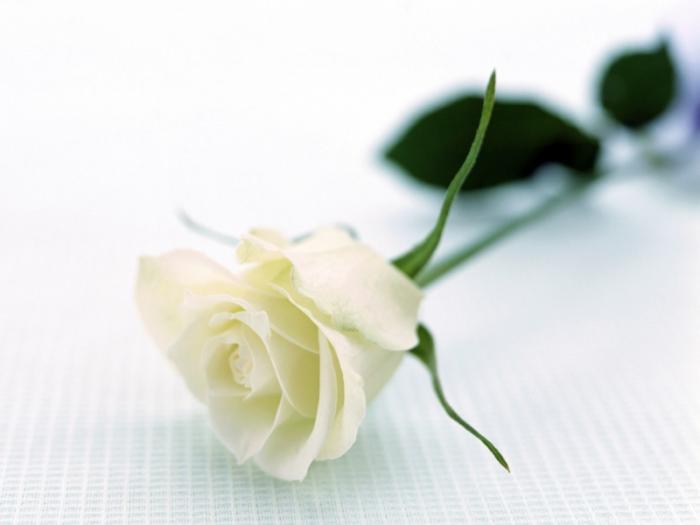 top 12 bai tho hay ve hoa hong 6 - Top 12 Bài thơ hay về hoa hồng