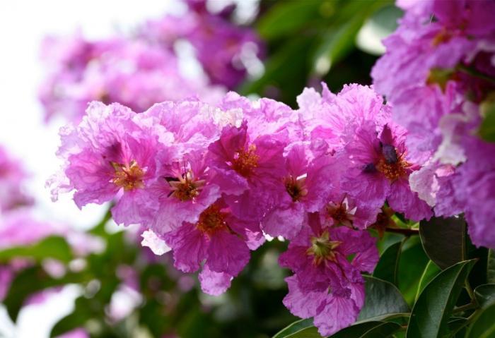 top 13 bai tho hay nhat ve hoa bang lang 12 - Top 13 Bài thơ hay nhất về hoa bằng lăng