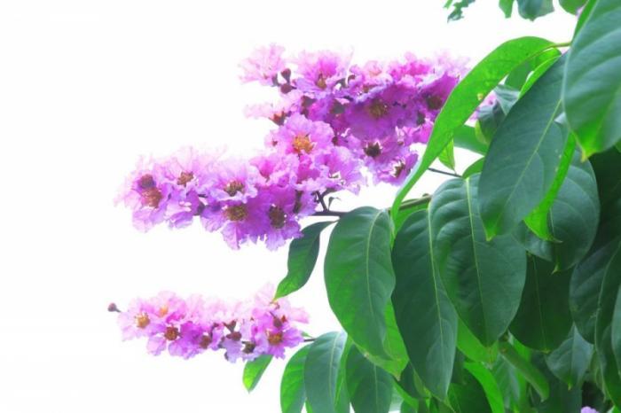 top 13 bai tho hay nhat ve hoa bang lang 14 - Top 13 Bài thơ hay nhất về hoa bằng lăng