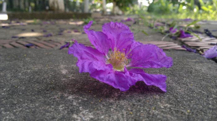top 13 bai tho hay nhat ve hoa bang lang 15 - Top 13 Bài thơ hay nhất về hoa bằng lăng