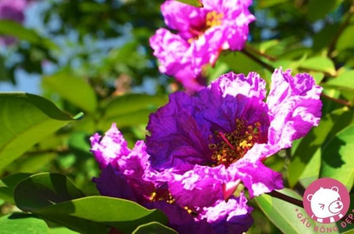 top 13 bai tho hay nhat ve hoa bang lang 18 - Top 13 Bài thơ hay nhất về hoa bằng lăng