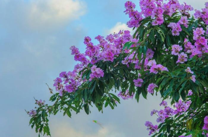 top 13 bai tho hay nhat ve hoa bang lang 20 - Top 13 Bài thơ hay nhất về hoa bằng lăng