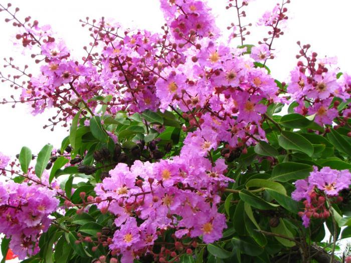 top 13 bai tho hay nhat ve hoa bang lang 24 - Top 13 Bài thơ hay nhất về hoa bằng lăng