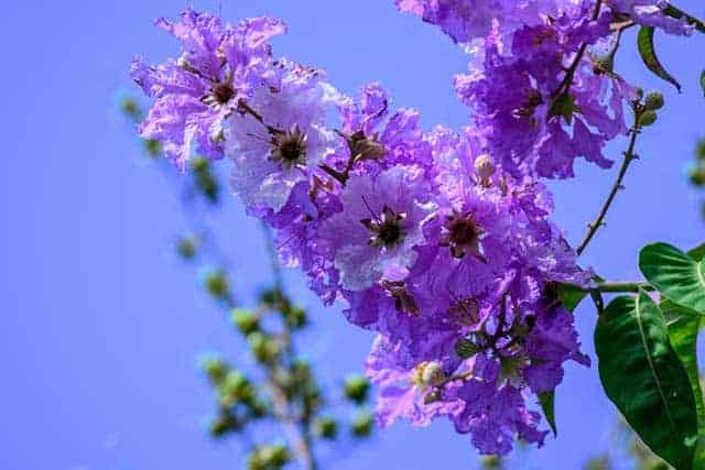top 13 bai tho hay nhat ve hoa bang lang 27 - Top 13 Bài thơ hay nhất về hoa bằng lăng