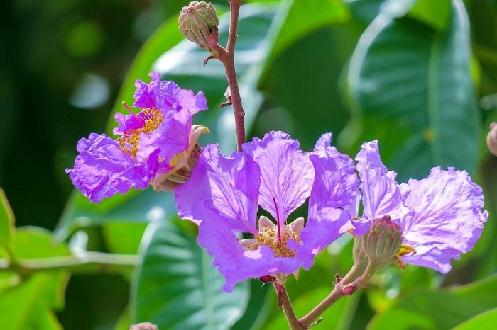 top 13 bai tho hay nhat ve hoa bang lang 30 - Top 13 Bài thơ hay nhất về hoa bằng lăng