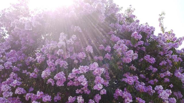 top 13 bai tho hay nhat ve hoa bang lang 31 - Top 13 Bài thơ hay nhất về hoa bằng lăng
