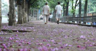 Con đường rợp bóng hàng cây- Gió lay hoa tím rụng đầy lối đi
