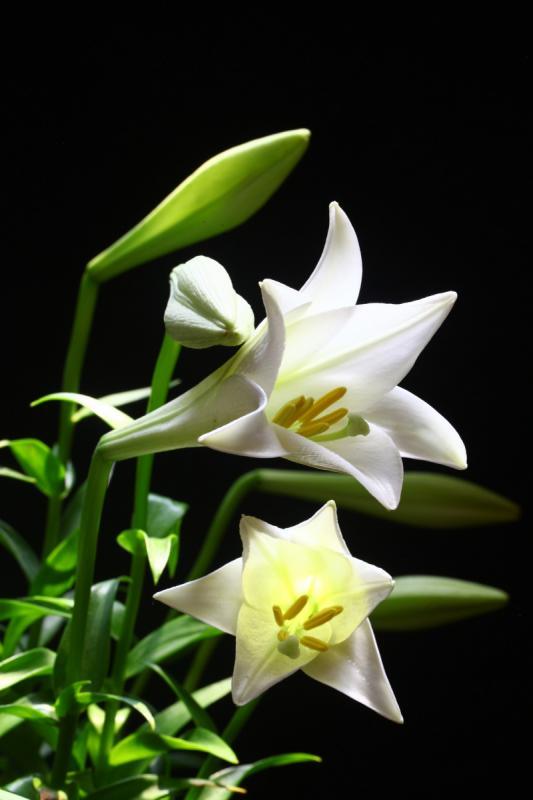 top 15 bai tho hay ve hoa loa ken thang tu 14 - Top 15 Bài thơ hay về hoa loa kèn tháng tư