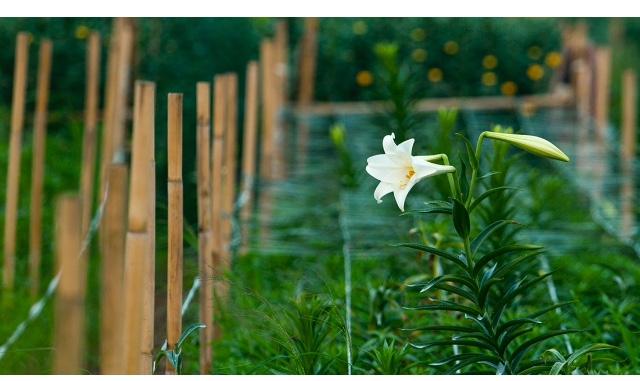 top 15 bai tho hay ve hoa loa ken thang tu 3 - Top 15 Bài thơ hay về hoa loa kèn tháng tư