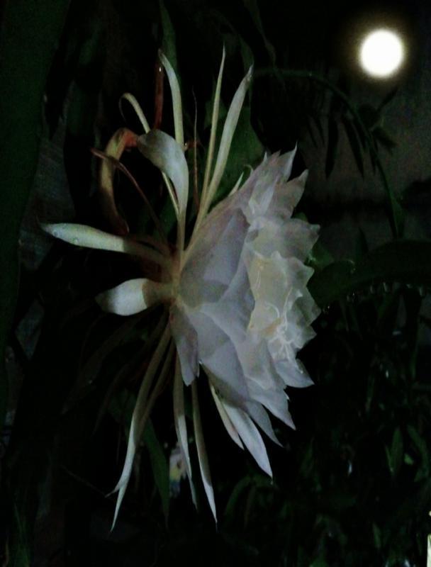 top 15 bai tho hay ve hoa quynh 7 - Top 15 Bài thơ hay về hoa Quỳnh