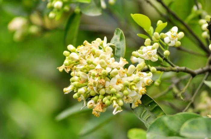 top 15 bai tho hay viet ve hoa buoi 1 - Top 15 Bài thơ hay viết về hoa bưởi