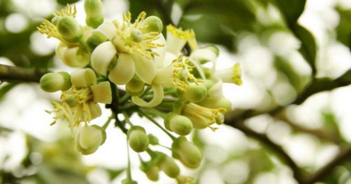 top 15 bai tho hay viet ve hoa buoi 13 - Top 15 Bài thơ hay viết về hoa bưởi
