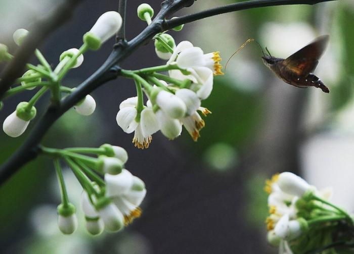 top 15 bai tho hay viet ve hoa buoi 2 - Top 15 Bài thơ hay viết về hoa bưởi