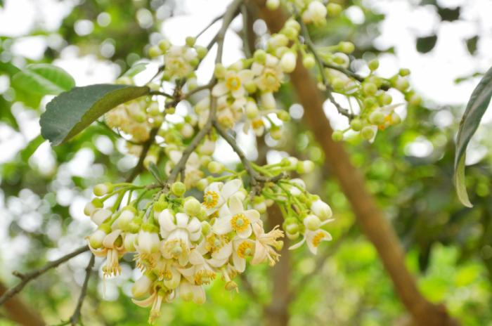 top 15 bai tho hay viet ve hoa buoi 3 - Top 15 Bài thơ hay viết về hoa bưởi