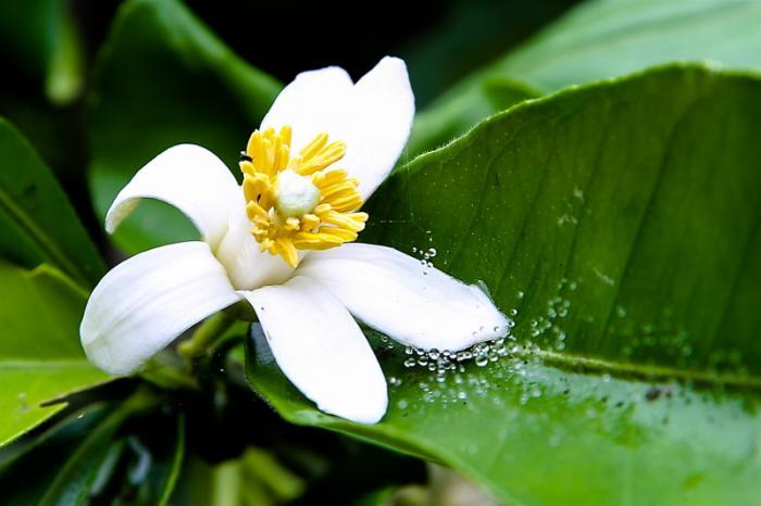top 15 bai tho hay viet ve hoa buoi 4 - Top 15 Bài thơ hay viết về hoa bưởi