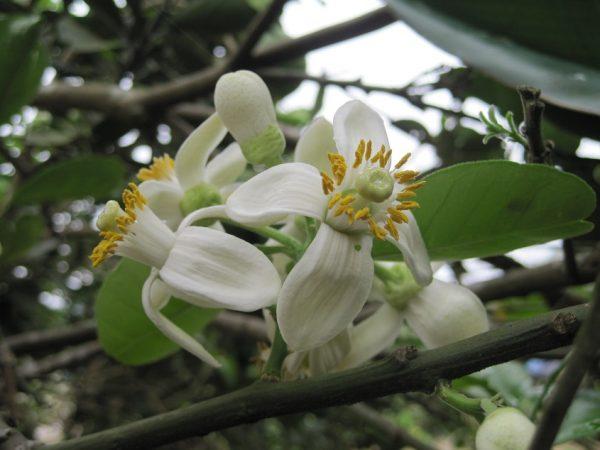 top 15 bai tho hay viet ve hoa buoi 7 - Top 15 Bài thơ hay viết về hoa bưởi